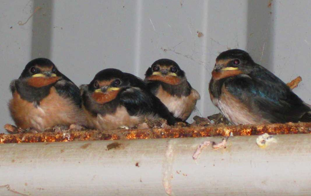 The Swallows are back!; Cutkive Wood Holiday Lodges